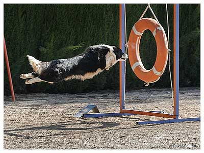 Entrevista con Marchant Black, border collies 1