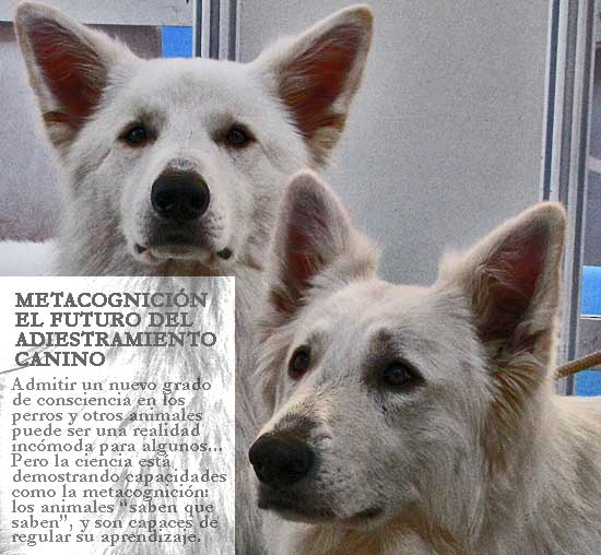 Metacognición animal, metacognición en perros.