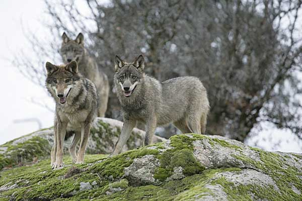 Un cuatro por ciento de los lobos estudiados son hbridos de lobo con perro.