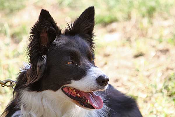 &quot;El border collie es una raza por lo que hace, no por su apariencia&quot;. Libro The Dog Wars: How the Border Collie Battled the American Kennel Club.