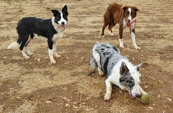 Colores en el <strong>border collie</strong>