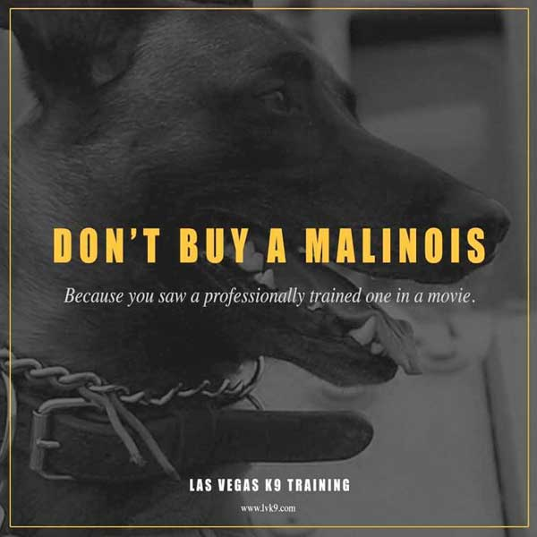 No compres un malinois
