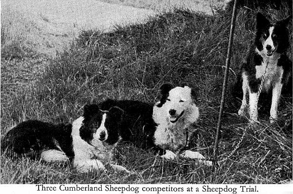 Cumberland sheepdog, el pre-border collie