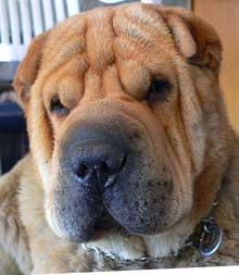 Alergia alimentaria en los perros
