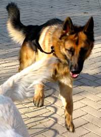 Cómo conocer la edad de un perro