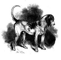 Southern Hound, raza británica extinguida en el siglo XIX