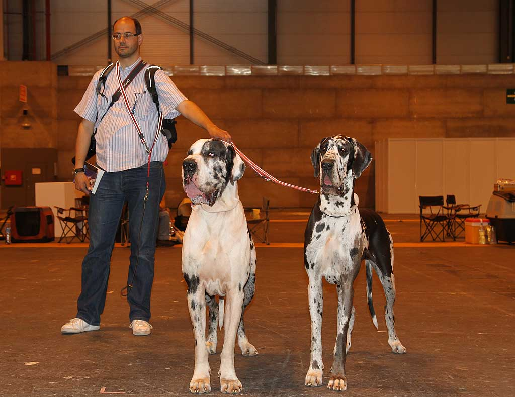 Una de las características físicas de los perros que pueden sufrir torsión gástrica es el pecho profundo.