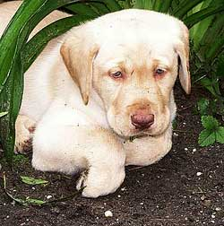 Ansiedad por separación en el perro
