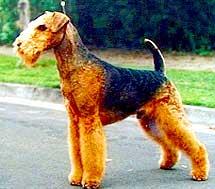 """Airedale terrier (esperanza de vida de las razas de perros que comienzan con """"A""""."""