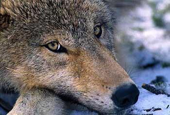 Del lobo al perro, por Eduardo de Benito