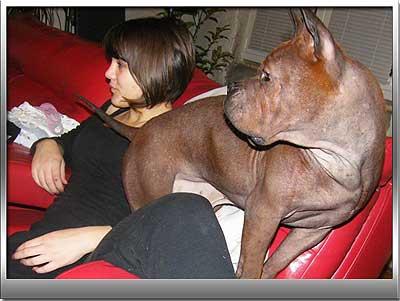 Perro de Chongqing (China)