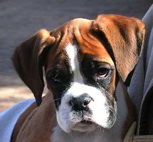 Test de Campbell en cachorros