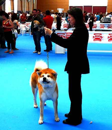 El akita inu está en la lista de Perros Potencialmente Peligrosos.