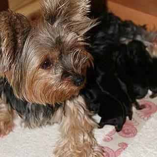 Control de celo y reproducción en las perras.