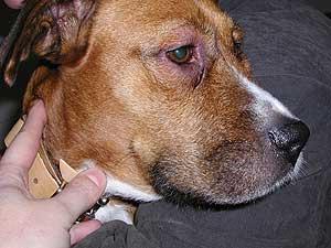 Problemas de piel en el perro (1)