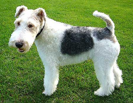 """Fox terrier, la esperanza de vida de las diferentes razas de perros (con """"F y G""""), desde el field spaniel al grifón"""