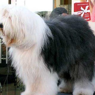 """La esperanza de vida de las diferentes razas de perros (con """"O"""" y """"P""""), bobtail."""