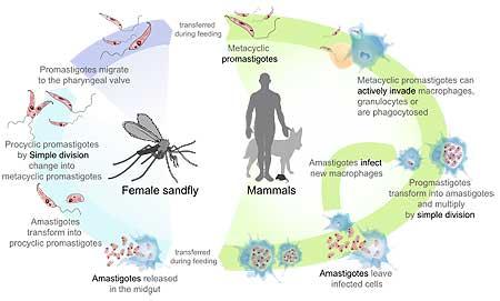 Ciclo biológico de la leisihmaniasis canina.