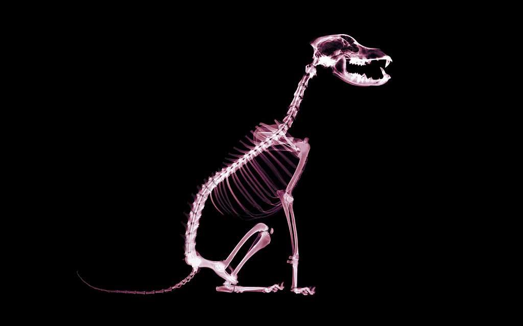 Dsiplasia-cadera-perro
