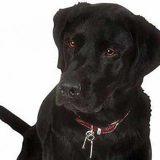 Cuánto viven los perros (razas con L, M y N).