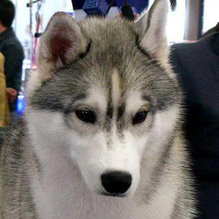 """La esperanza de vida de las diferentes razas de perros (con """"Q"""" """"R"""" y """"S""""), desde el rhodesian ridgeback hasta el swedish vallhund."""