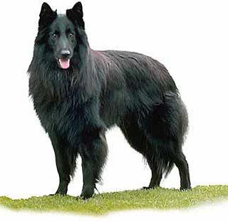 Estadística de temperamento canino según razas.