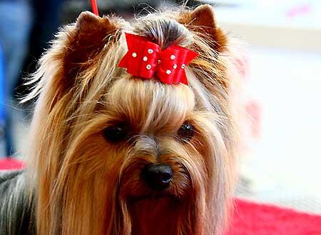 """La esperanza de vida de las diferentes razas de perros (desde la """"T"""" hasta la """"Z""""), desde el mastín tibetano hasta el Yorkshire terrier."""