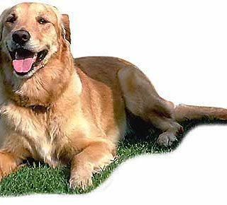 Leishmaniosis en los perros, infección y patología.
