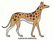 Lebrel de Dalmacia.