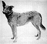 Perro de Wurttenberg.