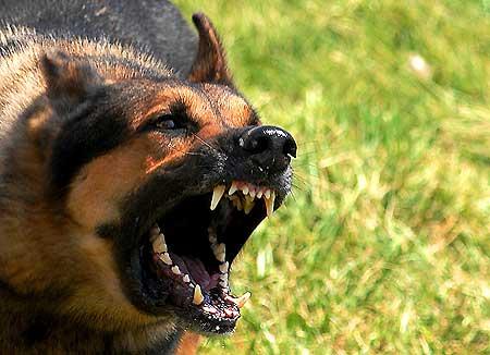 Con frecuencia se confunde al perro realmente dominante con un perro mal socializado.