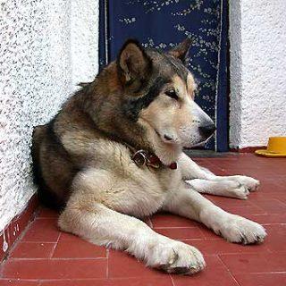 Las terapias de conducta en el perro mayor.