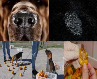 Odorología forense e identificación judicial/unidades caninas para seguridad alimentariaOdorología forense e identificación judicial/unidades caninas para seguridad alimentaria.