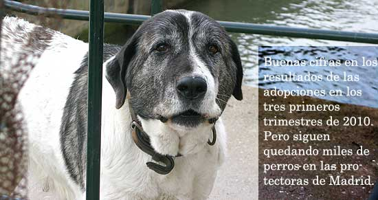 Adopciones de perros en la Comunidad de Madrid.