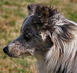 Un perro de la raza border collie entiende más de mil palabras.