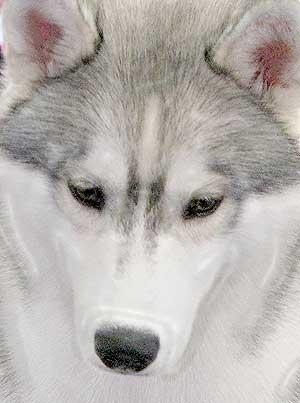 Las mejores fotos de siberian husky en www.doogweb.es