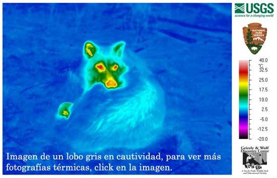 Imágenes térmicas para controlar la sarna en los lobos.
