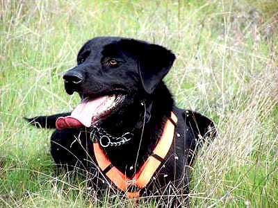 Perros detectores, rescatados de protectoras.