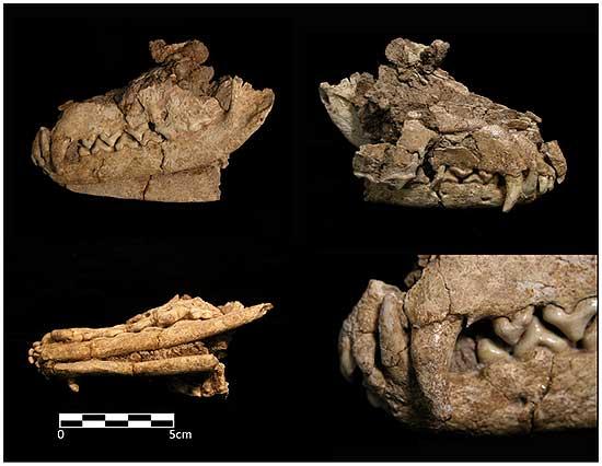 Encontrados restos de un zorro domesticado hace 20.000 años.