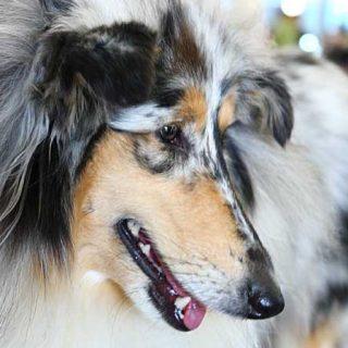No existe una regla aritmética para calcular el equivalente de edad en perros a edad humana .
