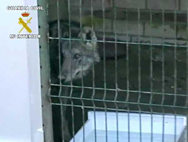 Un lobo decomisado en Huelva.
