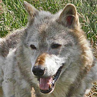 Los lobos siguen la mirada de los humanos.