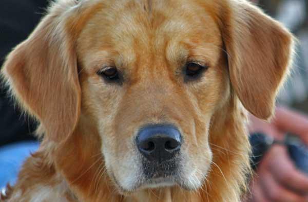 Las órdenes en el adiestramiento canino.