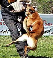 Ring belga, perros de trabajo en estado puro.
