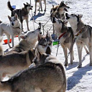 Campeonato de España de Trineos con Perros sobre Nieve.