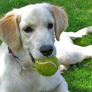 El condicionamiento operante en el adiestramiento canino.