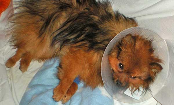 La Universidad de Colorado estudia la aplicación de la laparoscopia en la castración de perras.