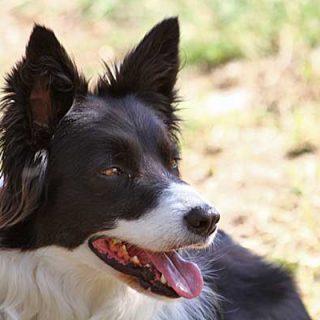 Un nuevo deporte canino... que consiste en pastorear balones gigantes! El border collie destaca claramente.