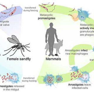 Vacuna contra la Leishmaniasis