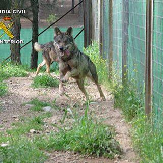 La Guardia Civil recupera cinco lobos y un lince en una investigación por tráfico de especies protegidas.